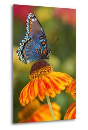 Red-Spotted Purple Butterfly-Darrell Gulin-Metal Print