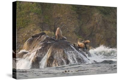 Stellar Sea Lions and Crashing Waves at Flattery Rocks on the Olympic Coast-Gary Luhm-Stretched Canvas Print