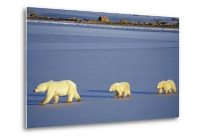 Polar Bears Female with 2 Cubs Walking on Frozen Pond, Churchill, Manitoba, Canada-Richard and Susan Day-Metal Print