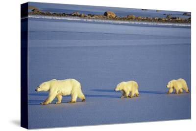 Polar Bears Female with 2 Cubs Walking on Frozen Pond, Churchill, Manitoba, Canada-Richard and Susan Day-Stretched Canvas Print