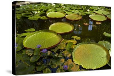 Giant Water Lilies, Wintergardens, Auckland Domain, Auckland, North Island, New Zealand-David Wall-Stretched Canvas Print