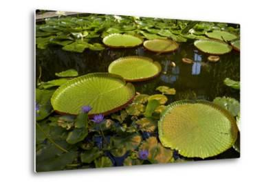 Giant Water Lilies, Wintergardens, Auckland Domain, Auckland, North Island, New Zealand-David Wall-Metal Print
