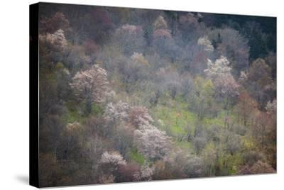 USA, North Carolina. Hardwood Trees Blooming in Spring-Jaynes Gallery-Stretched Canvas Print