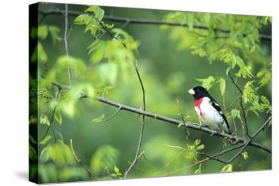 Rose-Breasted Grosbeak Male in Common Hackberry Tree, Marion, Il-Richard and Susan Day-Stretched Canvas Print