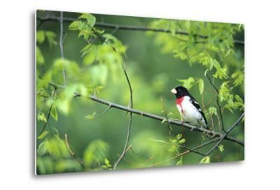 Rose-Breasted Grosbeak Male in Common Hackberry Tree, Marion, Il-Richard and Susan Day-Metal Print