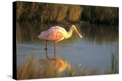 Roseate Spoonbill, South Padre Island, Texas-Richard and Susan Day-Stretched Canvas Print