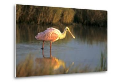 Roseate Spoonbill, South Padre Island, Texas-Richard and Susan Day-Metal Print