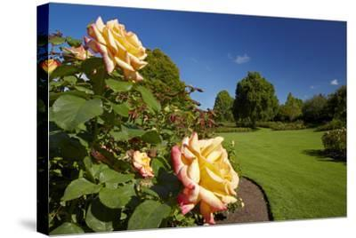 Roses in an Elegant Garden, Waikato, North Island, New Zealand-David Wall-Stretched Canvas Print