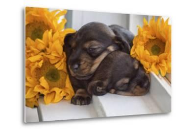 Sleeping Doxen Puppies-Zandria Muench Beraldo-Metal Print
