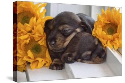 Sleeping Doxen Puppies-Zandria Muench Beraldo-Stretched Canvas Print