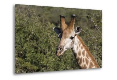 South Africa, Durban, Tala Game Reserve. Giraffe, Head Detail, Male-Cindy Miller Hopkins-Metal Print