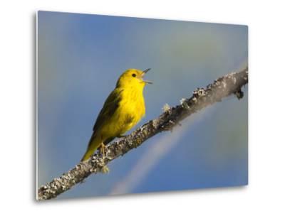 Washington, Male Yellow Warbler Sings from a Perch, Marymoor Park-Gary Luhm-Metal Print
