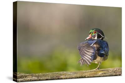 Washington, Male Wood Duck Stretches While Perched on a Log in the Seattle Arboretum-Gary Luhm-Stretched Canvas Print