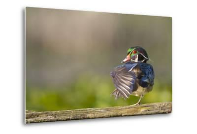 Washington, Male Wood Duck Stretches While Perched on a Log in the Seattle Arboretum-Gary Luhm-Metal Print