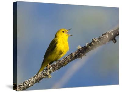 Washington, Male Yellow Warbler Sings from a Perch, Marymoor Park-Gary Luhm-Stretched Canvas Print
