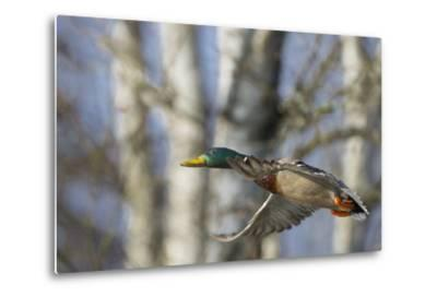 Washington, Mallard Drake in Flight-Gary Luhm-Metal Print