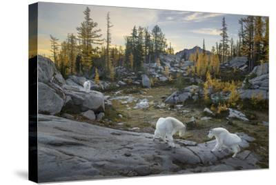 Washington, Mountain Goat Family Near Horseshoe Lake in the Alpine Lakes Wilderness-Gary Luhm-Stretched Canvas Print