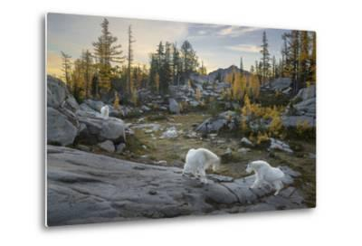 Washington, Mountain Goat Family Near Horseshoe Lake in the Alpine Lakes Wilderness-Gary Luhm-Metal Print