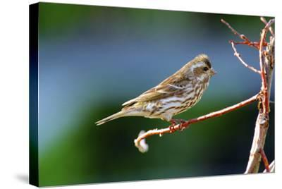 Purple Finch-Richard Wright-Stretched Canvas Print