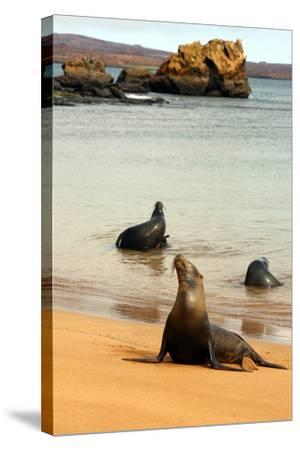 Three Galapagos Sea Lions Play on the Shore of Bartholomew Island. Ecuador, South America-Kymri Wilt-Stretched Canvas Print