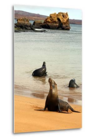 Three Galapagos Sea Lions Play on the Shore of Bartholomew Island. Ecuador, South America-Kymri Wilt-Metal Print