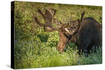 USA, Colorado, Brainerd Lake Recreation Area. Bull Moose with Velvet Antlers-Jaynes Gallery-Stretched Canvas Print