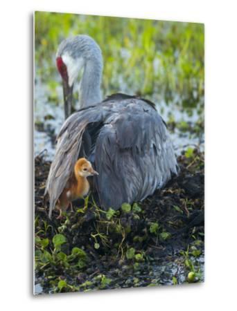 Sandhill Crane on Nest with Colt under Wing, Florida-Maresa Pryor-Metal Print