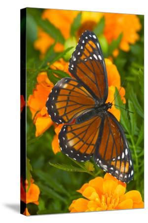 Viceroy Butterfly a Mimic of the Monarch Butterfly-Darrell Gulin-Stretched Canvas Print