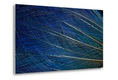 Top Knot Feathers of the Blue Bird of Paradise-Darrell Gulin-Metal Print