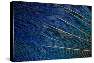 Top Knot Feathers of the Blue Bird of Paradise-Darrell Gulin-Stretched Canvas Print