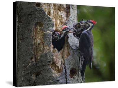 Washington, Female Pileated Woodpecker Aside Nest in Snag with Two Begging Chicks-Gary Luhm-Stretched Canvas Print