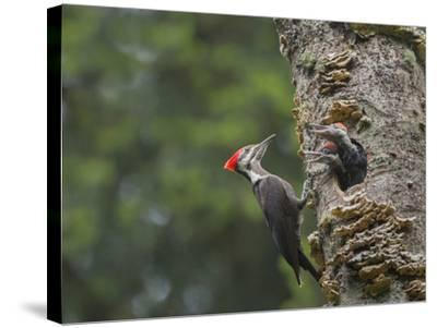 Washington, Female Pileated Woodpecker at Nest in Snag, with Begging Chicks-Gary Luhm-Stretched Canvas Print
