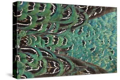 Variations on Feather Colors of the Ring-Necked Pheasant-Darrell Gulin-Stretched Canvas Print