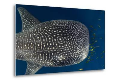 Whale Shark and Golden Trevally, Cenderawasih Bay, West Papua, Indonesia-Pete Oxford-Metal Print