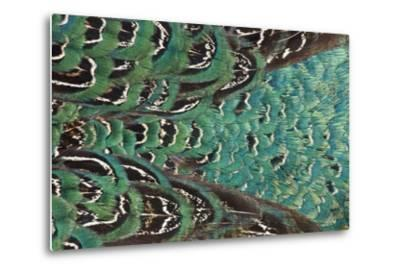 Variations on Feather Colors of the Ring-Necked Pheasant-Darrell Gulin-Metal Print