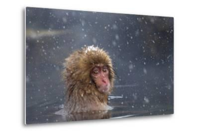 Japanese Macaque (Snow Monkey) (Macata Fuscata), Japan-Andrew Sproule-Metal Print