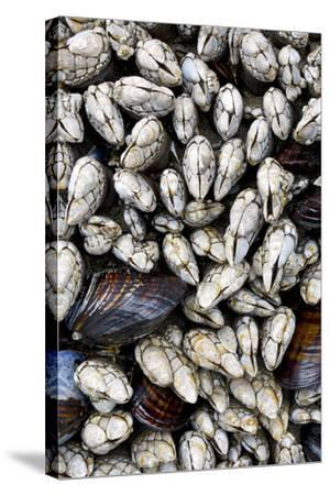 Washington, Olympic National Park. Gooseneck Barnacles and Clams-Jaynes Gallery-Stretched Canvas Print