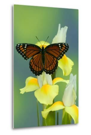 Viceroy Butterfly That Mimics the Monarch Butterfly-Darrell Gulin-Metal Print