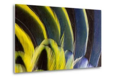 Wing Feathers Fanned Out on Eastern Rosella-Darrell Gulin-Metal Print
