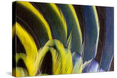 Wing Feathers Fanned Out on Eastern Rosella-Darrell Gulin-Stretched Canvas Print
