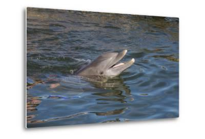 Bottlenose Dolphin, Tursiops Tursiops, Grassy Key, Florida, United States of America, North America-Michael Runkel-Metal Print