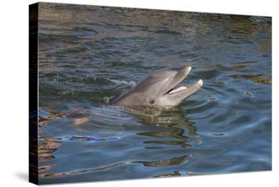 Bottlenose Dolphin, Tursiops Tursiops, Grassy Key, Florida, United States of America, North America-Michael Runkel-Stretched Canvas Print