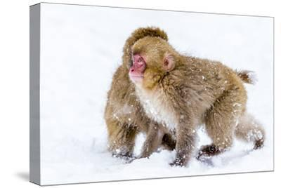 Japanese Macaques (Snow Monkeys) (Macata Fuscata), Japan-Andrew Sproule-Stretched Canvas Print