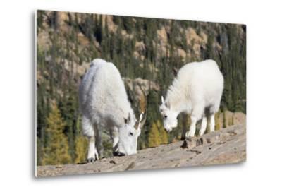 Washington, Alpine Lakes Wilderness, Mountain Goats, Nanny and Kid-Jamie And Judy Wild-Metal Print