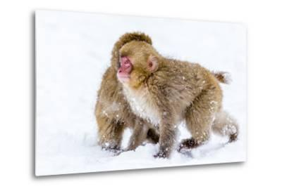 Japanese Macaques (Snow Monkeys) (Macata Fuscata), Japan-Andrew Sproule-Metal Print