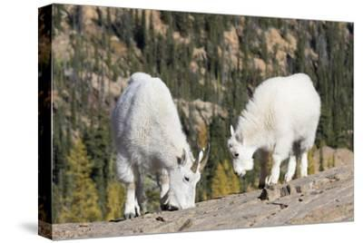 Washington, Alpine Lakes Wilderness, Mountain Goats, Nanny and Kid-Jamie And Judy Wild-Stretched Canvas Print