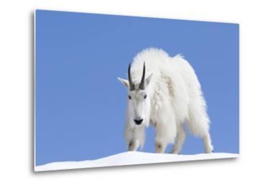 Washington, Alpine Lakes Wilderness, Mountain Goat, Billy Goat, Male-Jamie And Judy Wild-Metal Print