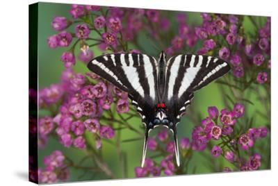 Zebra Swallowtail, North American Swallowtail Butterfly-Darrell Gulin-Stretched Canvas Print