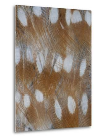 Zebra Finch Feathers of a Fawn Mutation in Coloration-Darrell Gulin-Metal Print