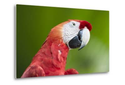 Scarlet Macaw (Ara Macao), Amazon, Brazil, South America-G&M Therin-Weise-Metal Print